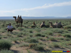 Wild Camels in Mongolia